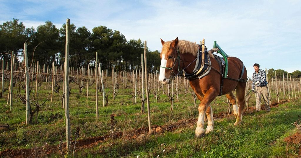 Horse at organic vineyard in Penedes during a Barcelona winery tour.q
