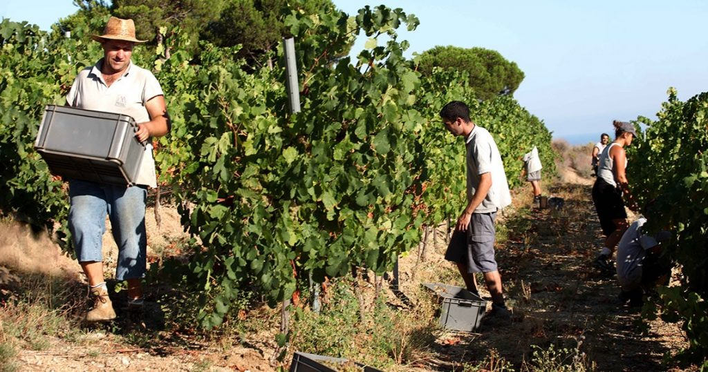 Farmer hand picking grapes for wine making in Barcelona.